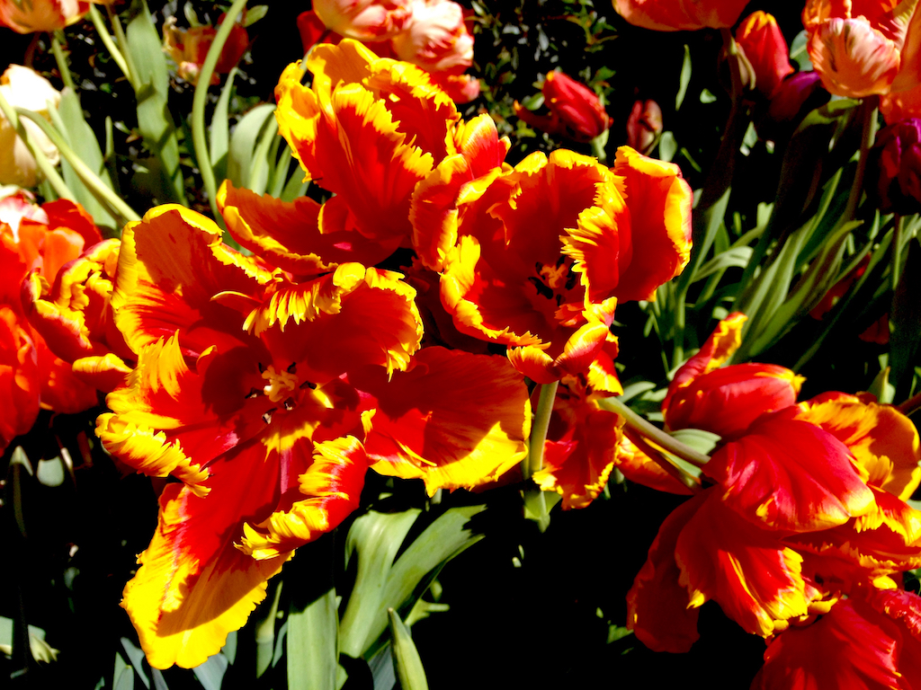 Sun Shining on Tulips